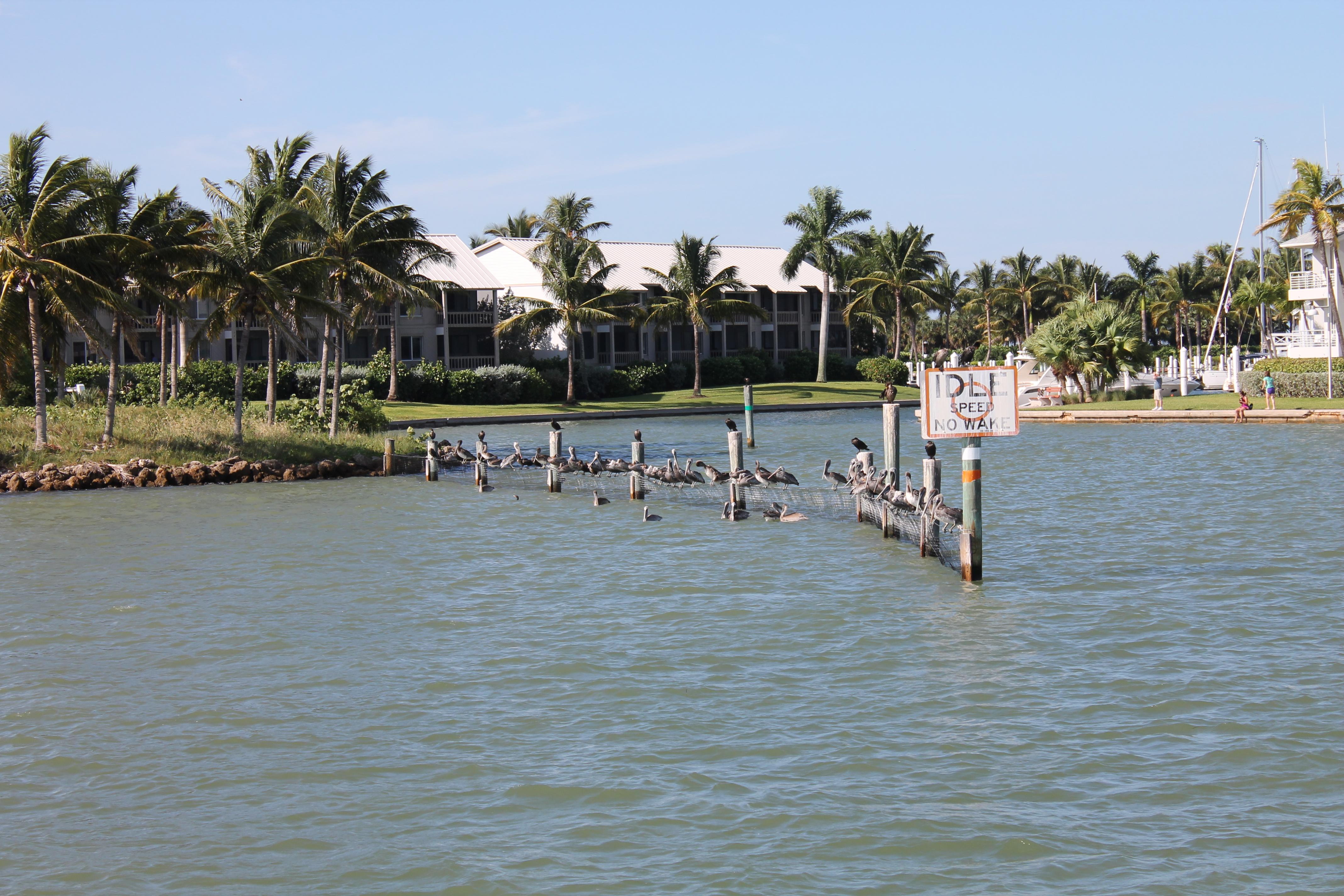 Pelikanen bij Cabbage Key
