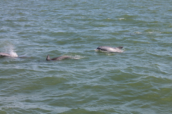 Dolfijnen bij Cabbage Key