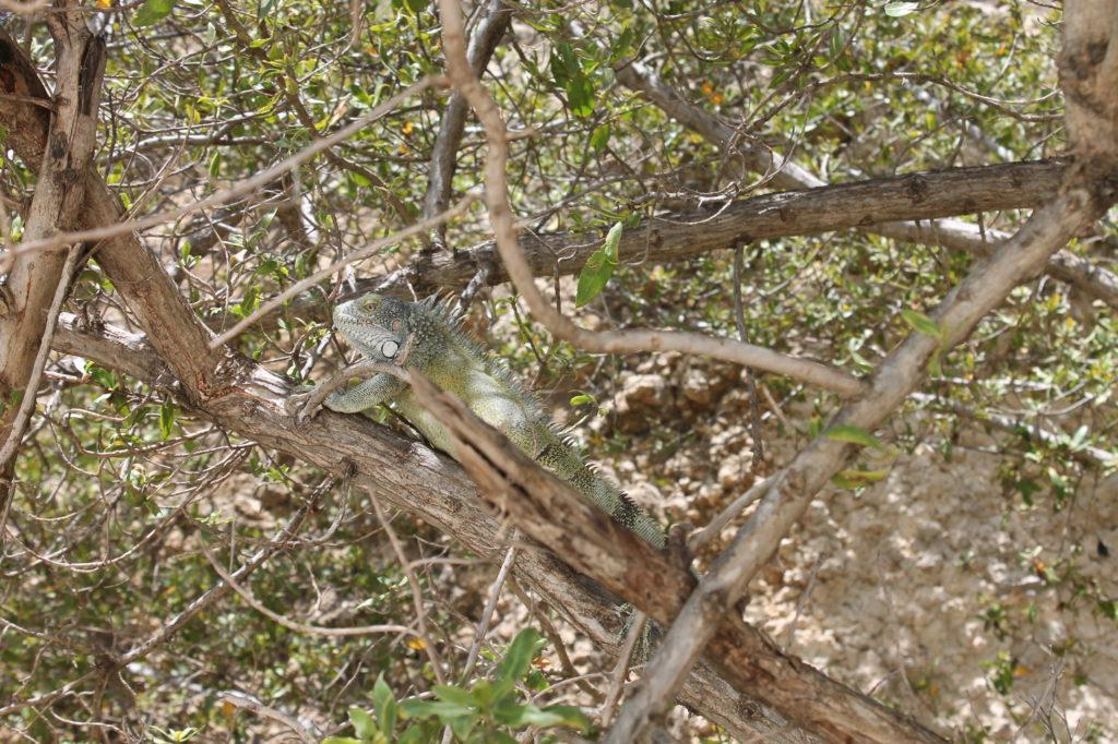 Leguaan in de boom op het strand