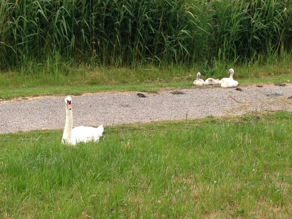 Papa of mama-zwaan blokkeerde de weg met haar pulletjes dus liep ik om tijdens het rondje met Xavi. Ik maakte van het kersverse gezin snel een foto.