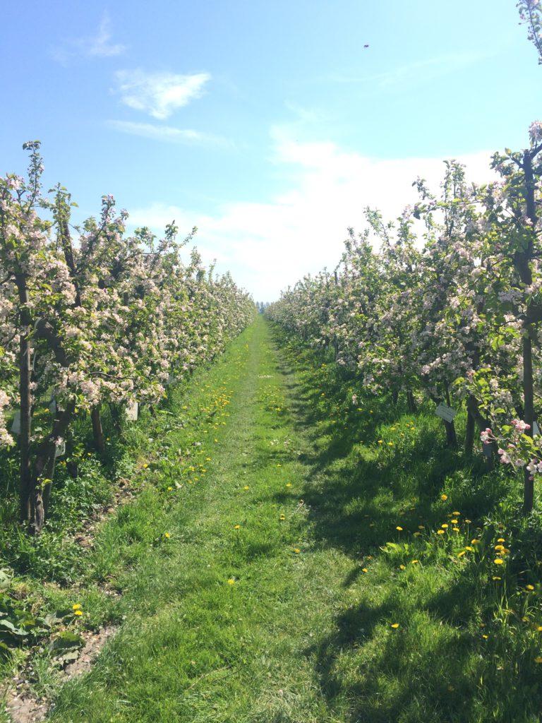 De prachtige bloesem in de Olmenhorst