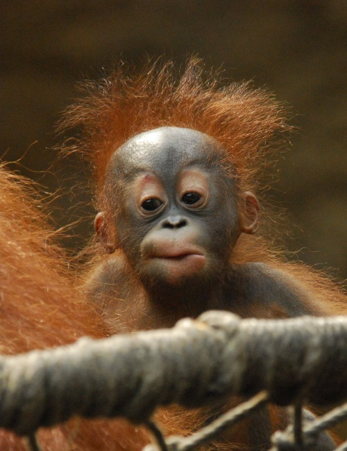 orangutan-infant-portrait-christoph-matzke